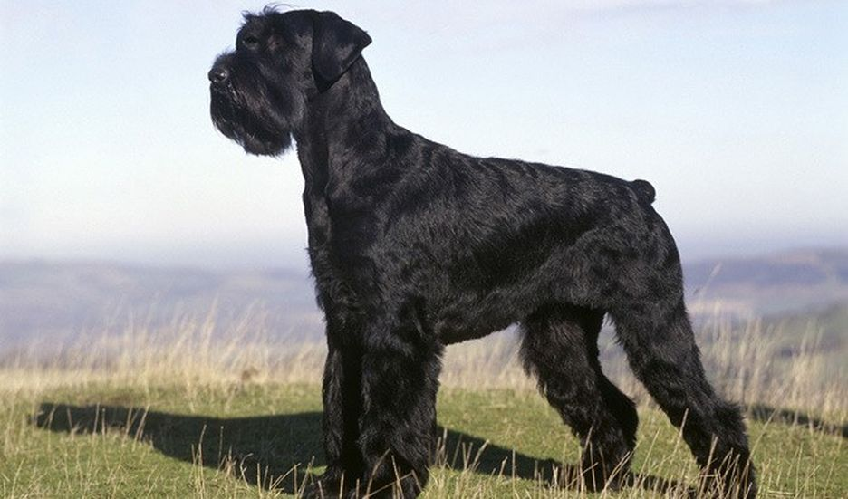 Secondary image of Giant Schnauzer dog breed