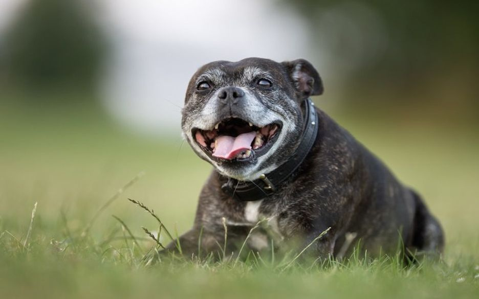 Secondary image of Staffordshire Bull Terrier dog breed