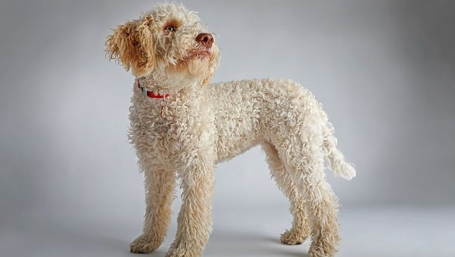 Secondary image of Lagotto Romagnolo dog breed
