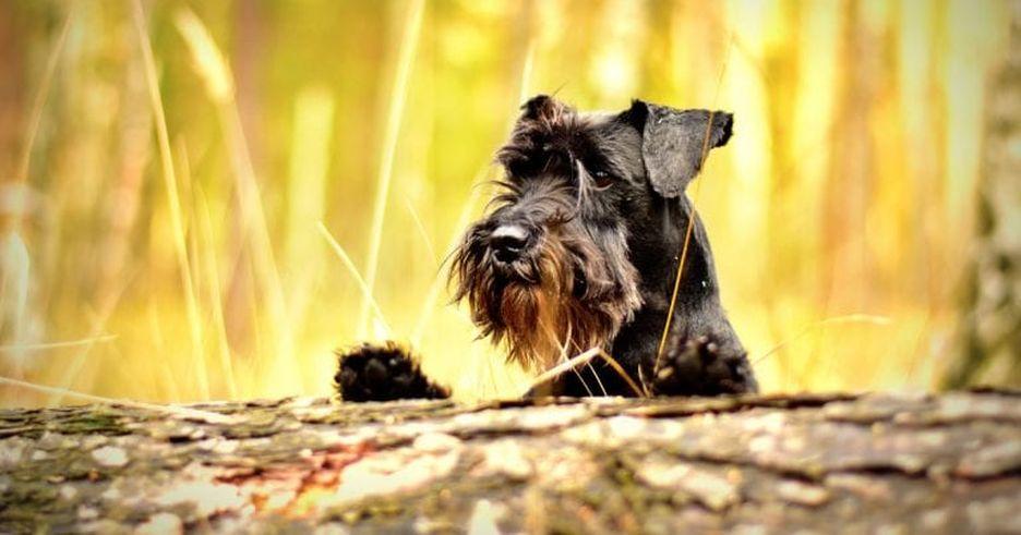 Secondary image of Miniature Schnauzer dog breed