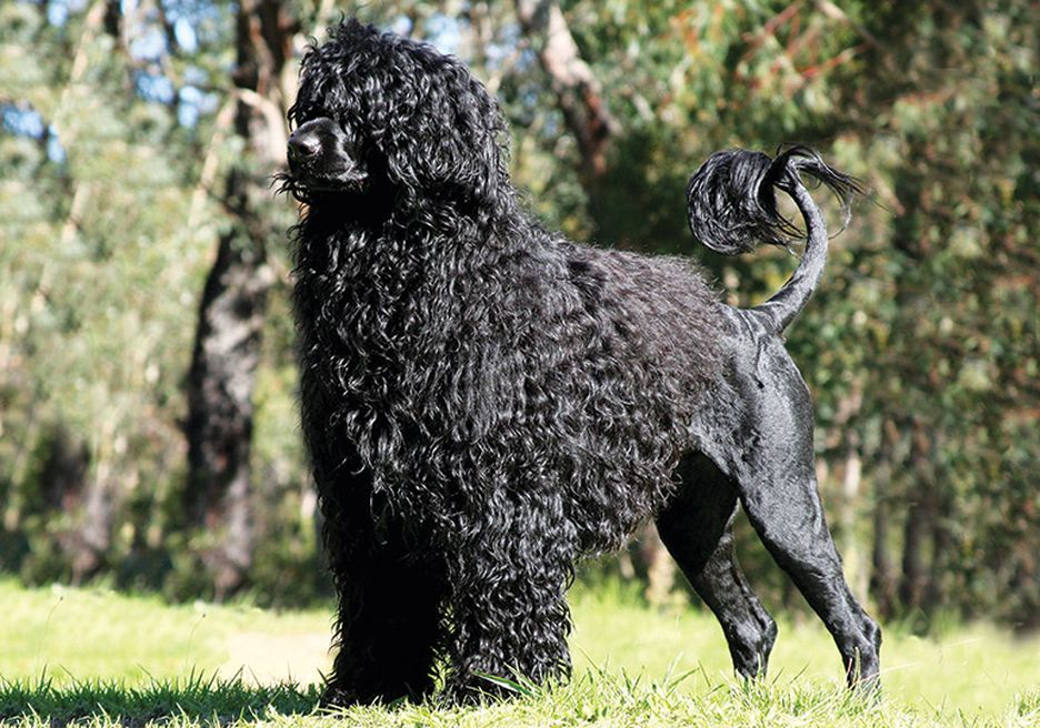 Secondary image of Portuguese Water Dog dog breed