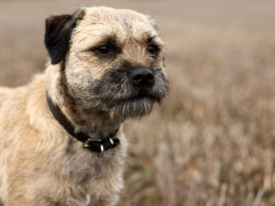 Secondary image of Border Terrier dog breed