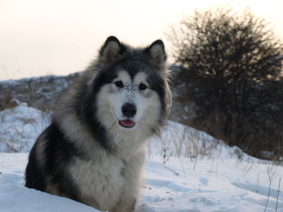 Secondary image of Alaskan Malamute dog breed