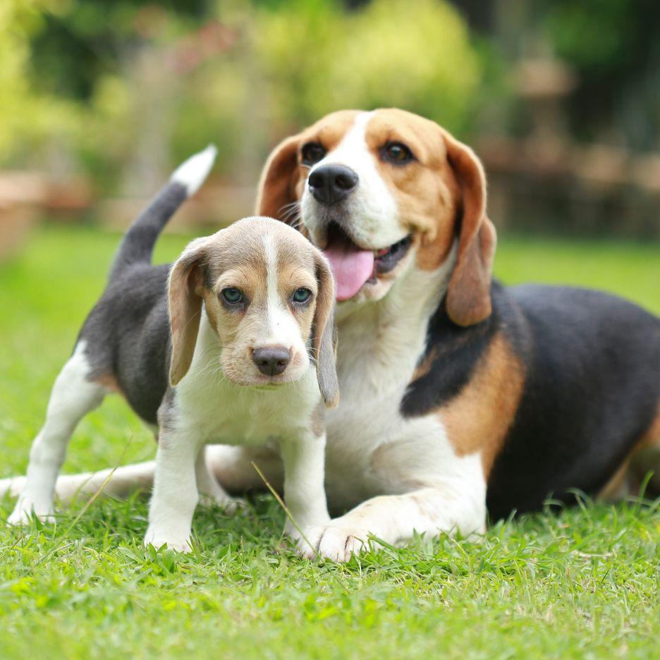 Secondary image of Beagle dog breed