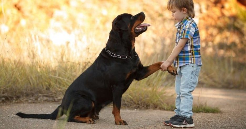 Secondary image of Rottweiler dog breed