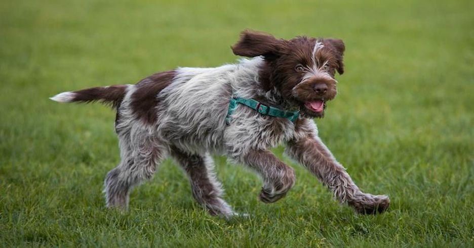 Secondary image of Wirehaired Pointing Griffon dog breed