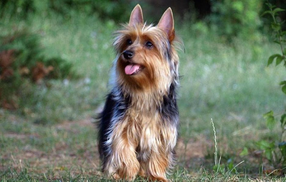 Secondary image of Australian Silky Terrier dog breed