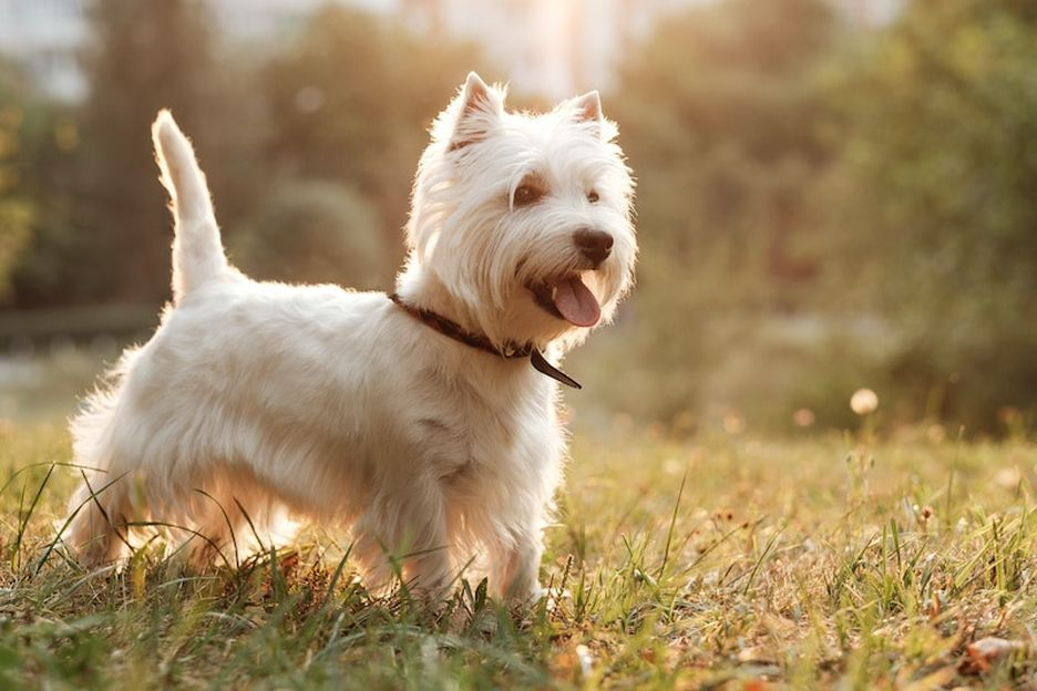 Secondary image of West Highland White Terrier dog breed