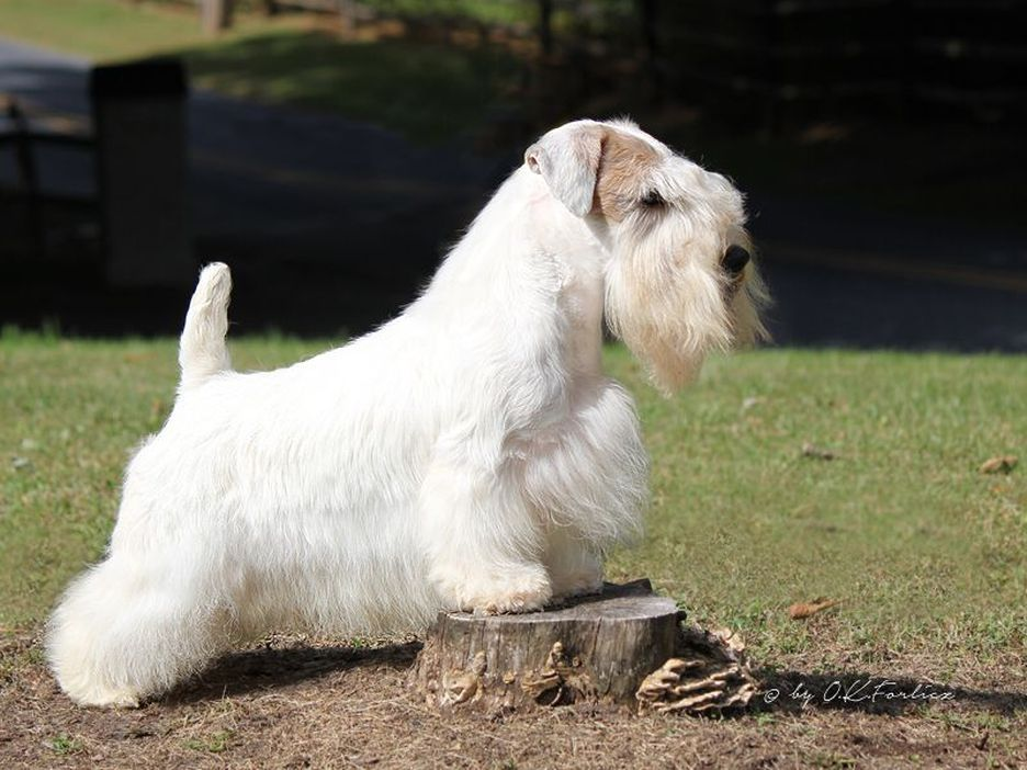 Secondary image of Sealyham Terrier dog breed