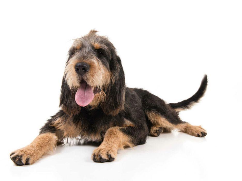 Secondary image of Otterhound dog breed