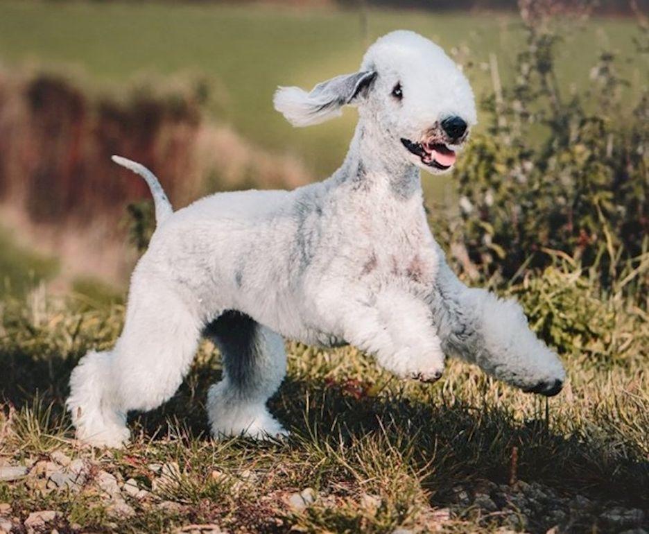 Secondary image of Bedlington Terrier dog breed