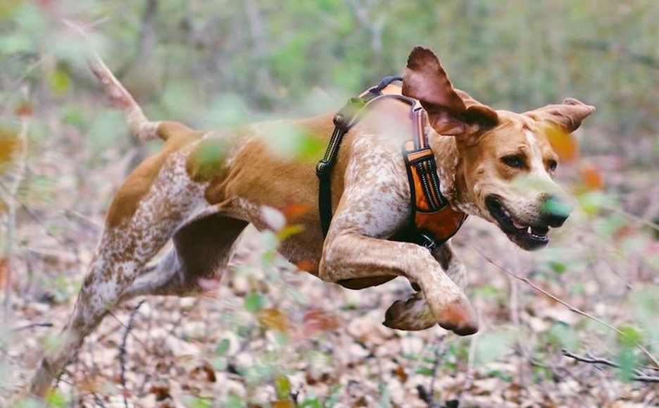 Secondary image of American English Coonhound dog breed