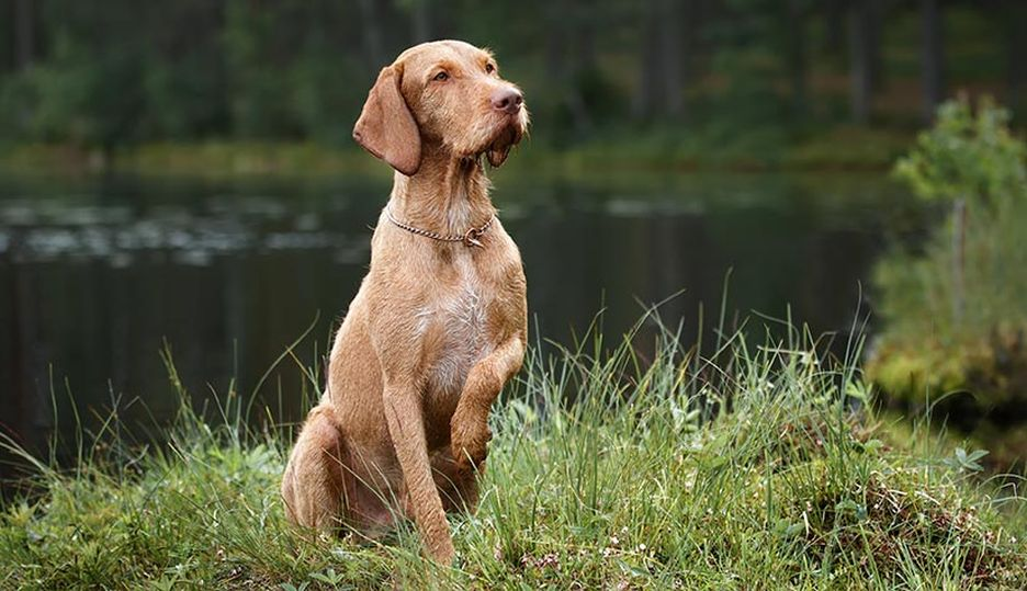 Secondary image of Wirehaired Vizsla dog breed