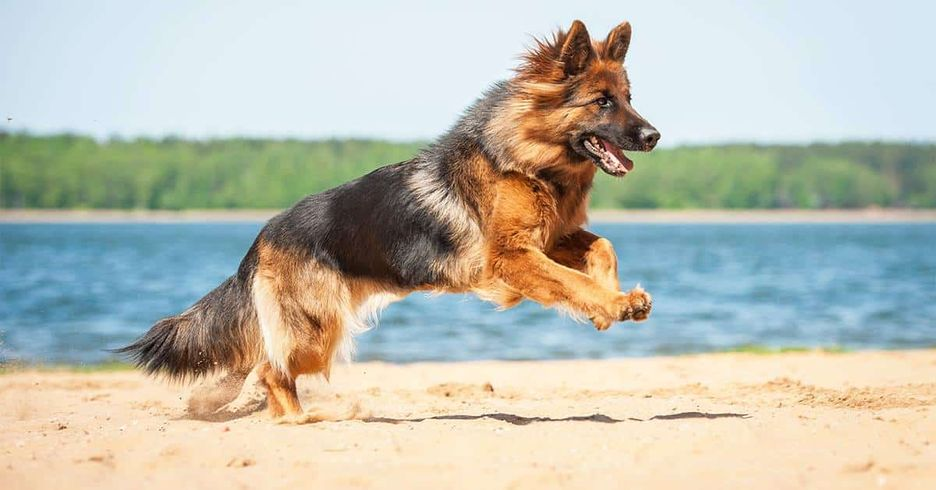 Secondary image of German Shepherd dog breed