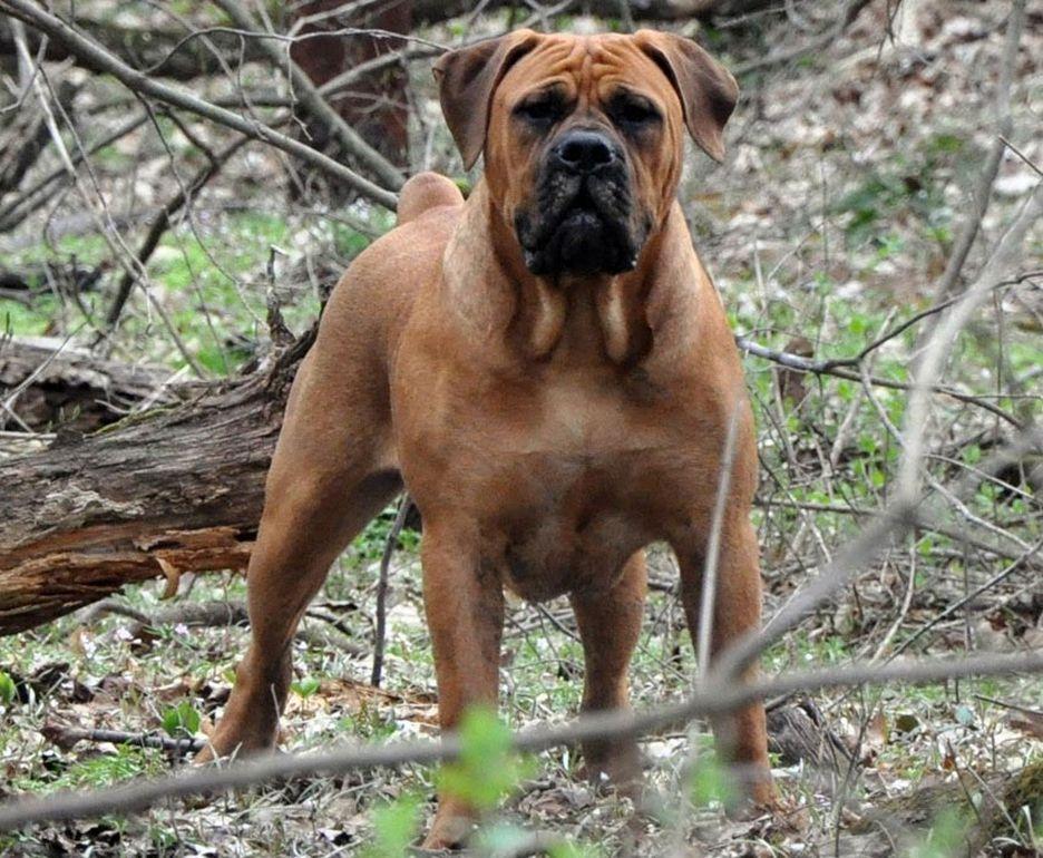 Secondary image of Boerboel dog breed