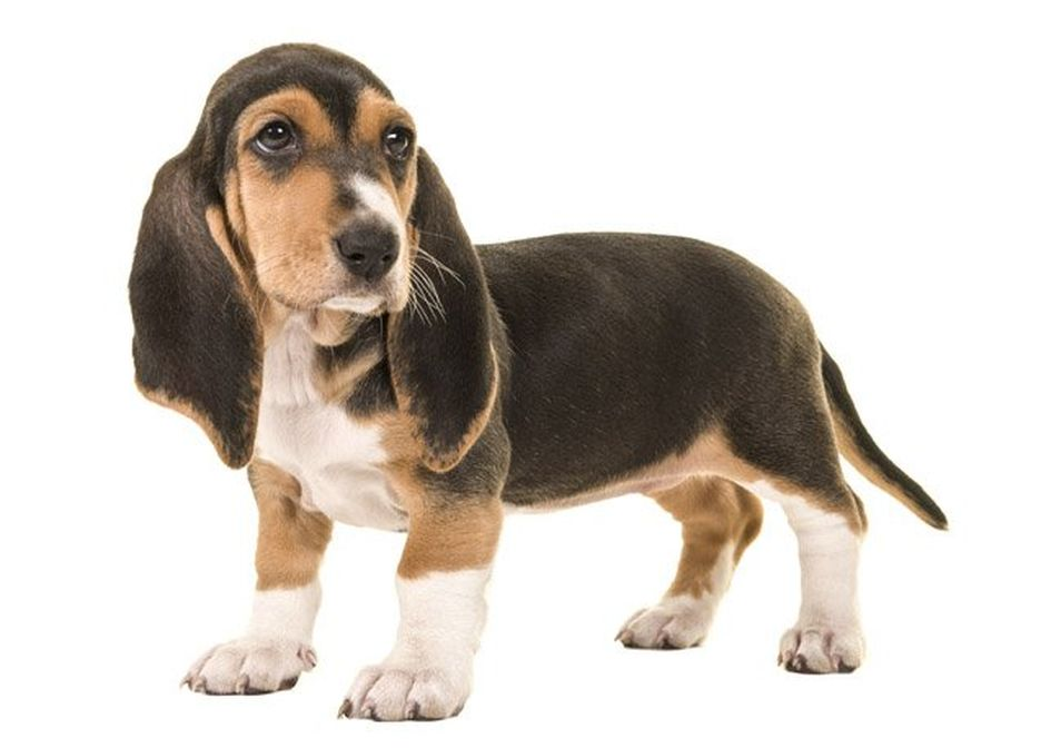 Secondary image of Basset Artesien Normand dog breed