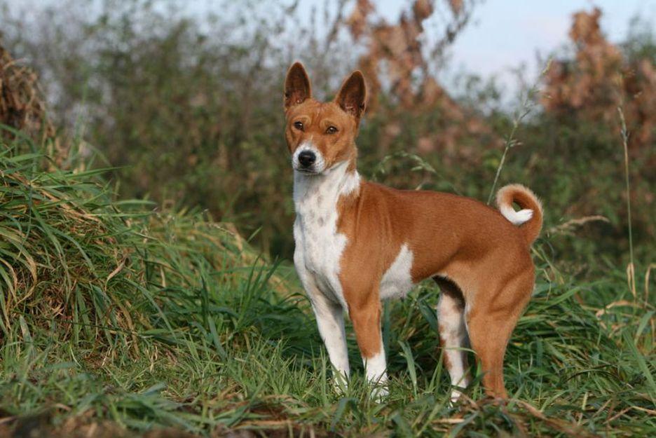 Secondary image of Basenji dog breed