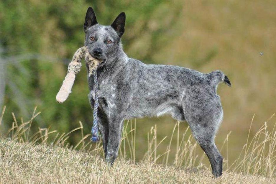 Secondary image of Australian Stumpy Tail Cattle Dog dog breed