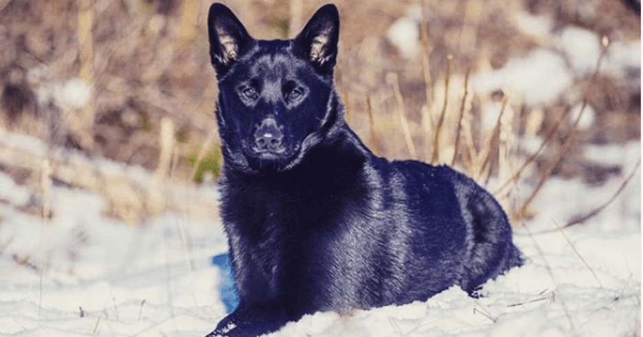 Secondary image of Black Norwegian Elkhound dog breed