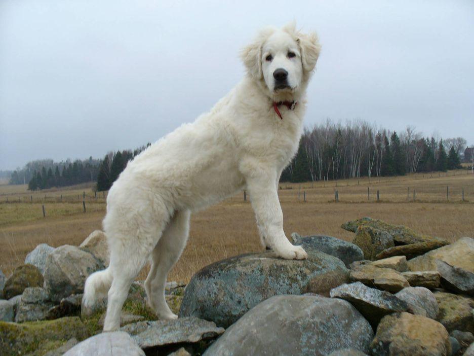 Secondary image of Akbash Dog dog breed
