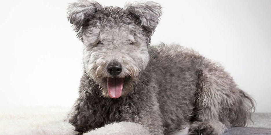 Secondary image of Pumi dog breed