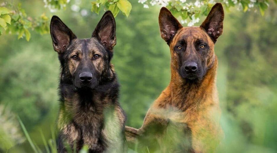 Secondary image of Dutch Shepherd dog breed