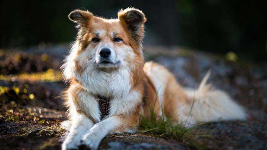 Secondary image of Icelandic Sheepdog dog breed