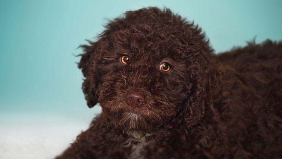 Secondary image of Spanish Water Dog dog breed