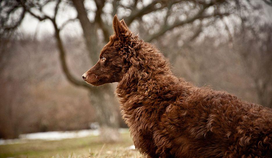 Secondary image of Mudi dog breed