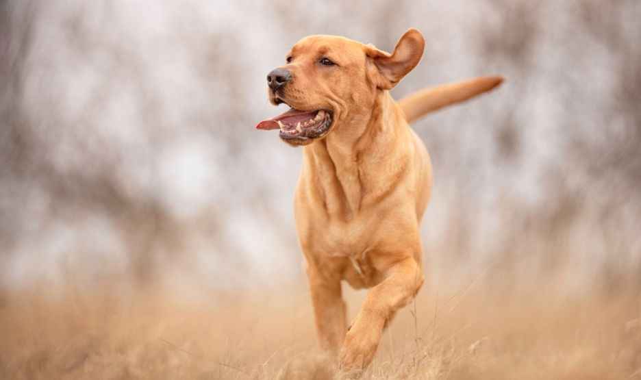 Secondary image of Broholmer dog breed