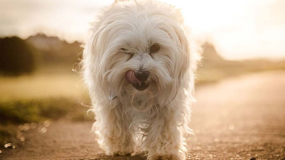 Secondary image of Havanese dog breed