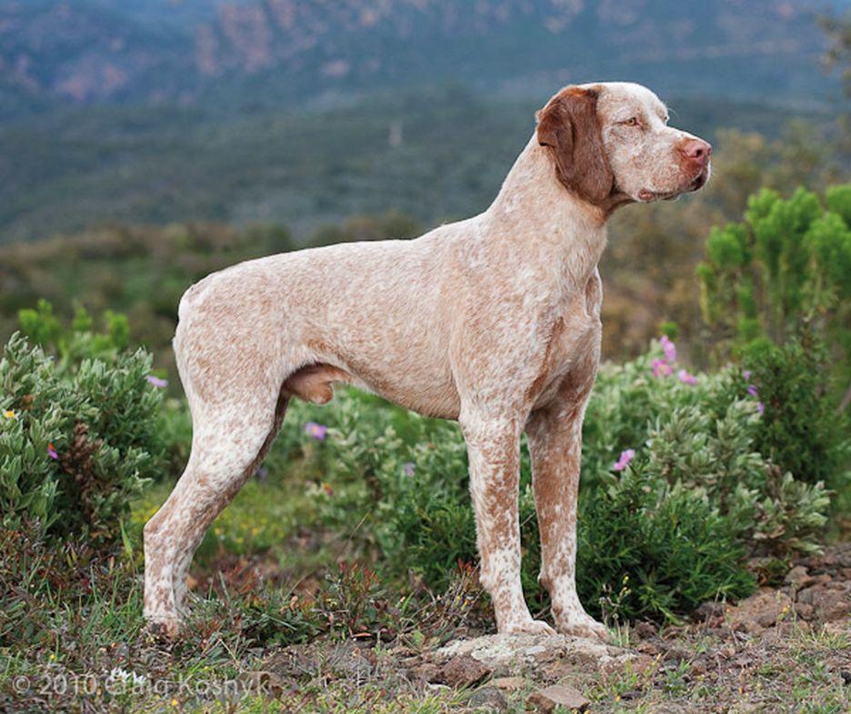 Secondary image of Braque du Bourbonnais dog breed
