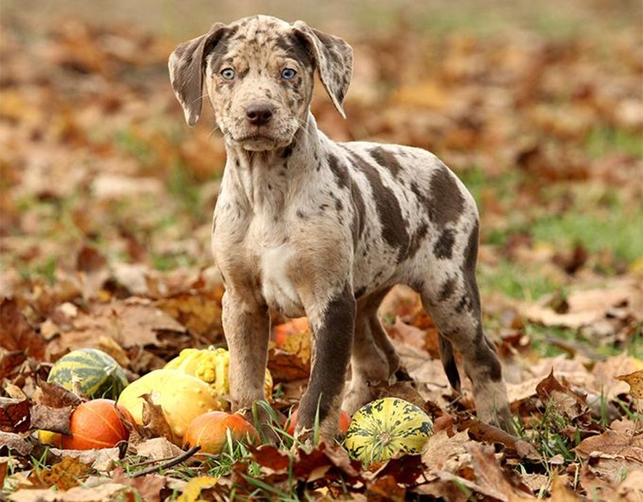 Secondary image of Catahoula Cur dog breed
