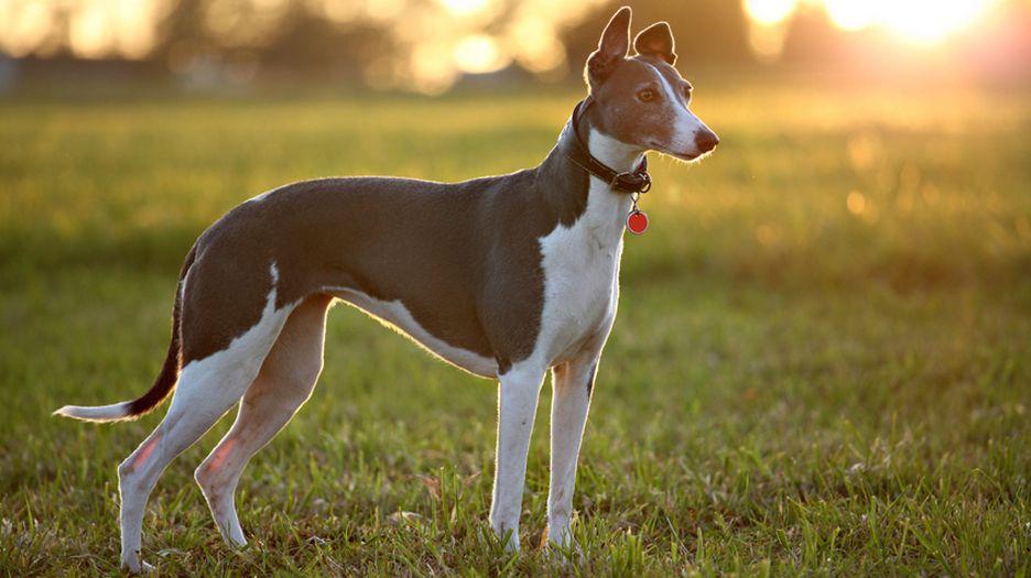 Secondary image of Greyhound dog breed