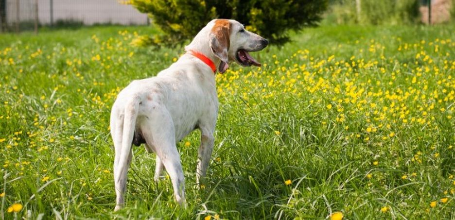 Secondary image of Billy dog breed