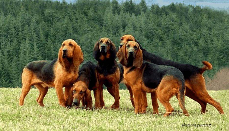 Secondary image of Bruno Jura Hound dog breed