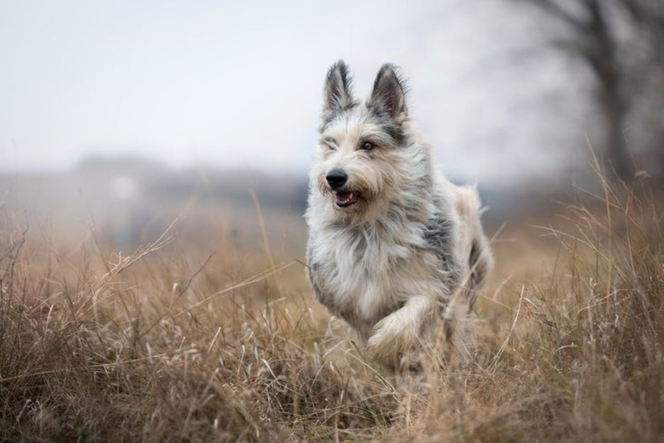 Secondary image of Berger Picard dog breed
