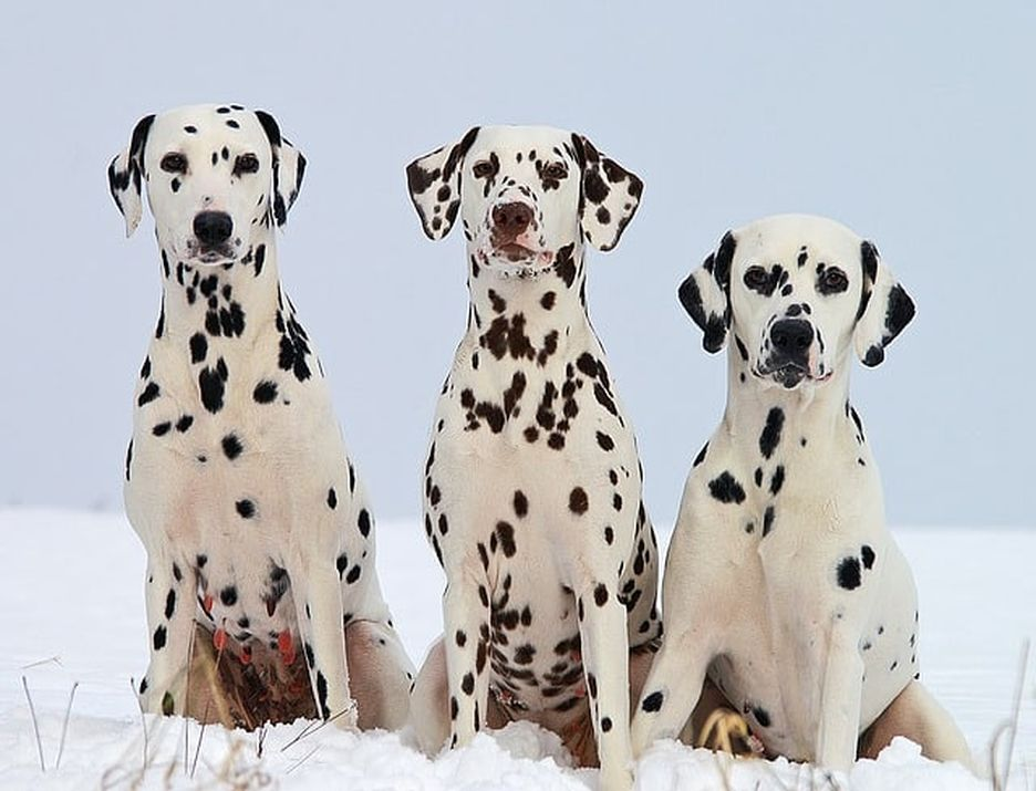 Secondary image of Dalmatian dog breed