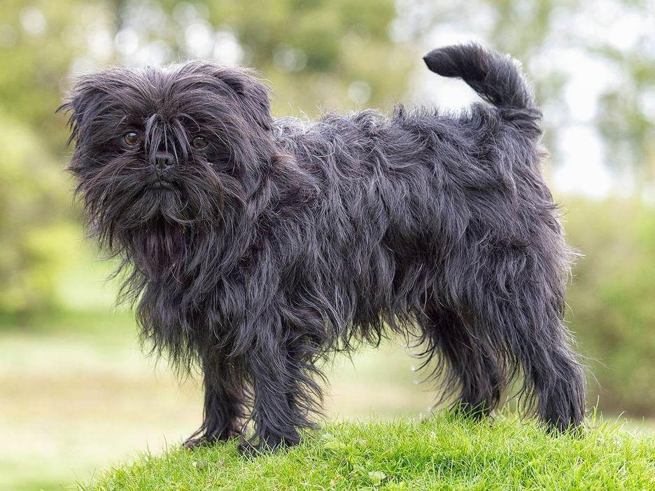 Secondary image of Affenpinscher dog breed