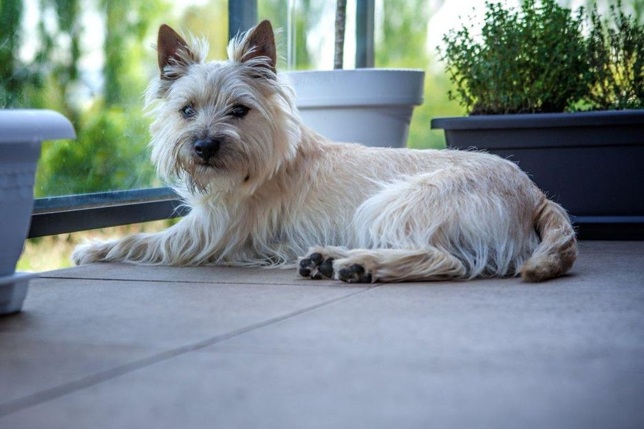 Secondary image of Cairn Terrier dog breed