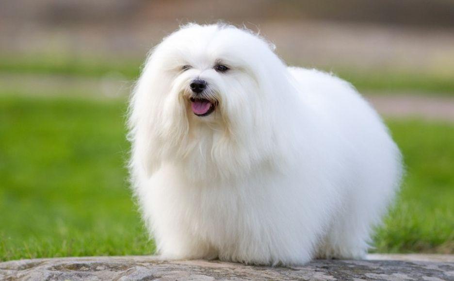 Secondary image of Coton de Tulear dog breed