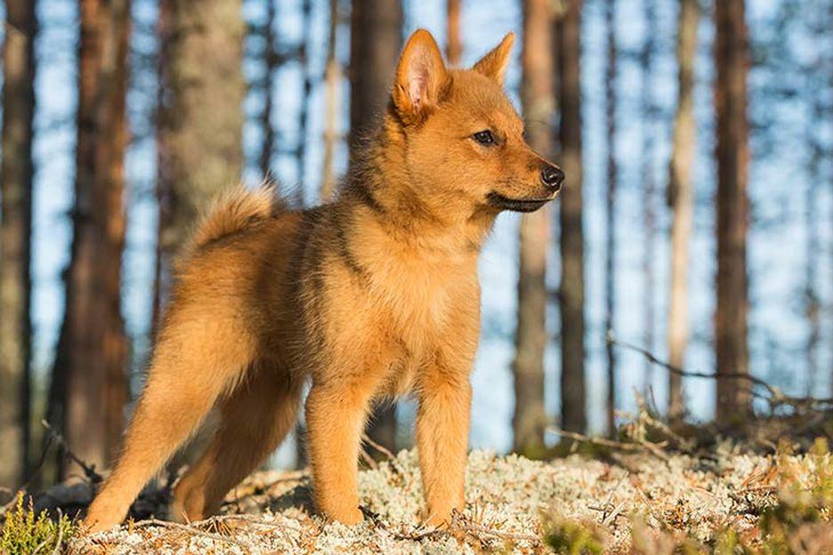 Secondary image of Finnish Spitz dog breed