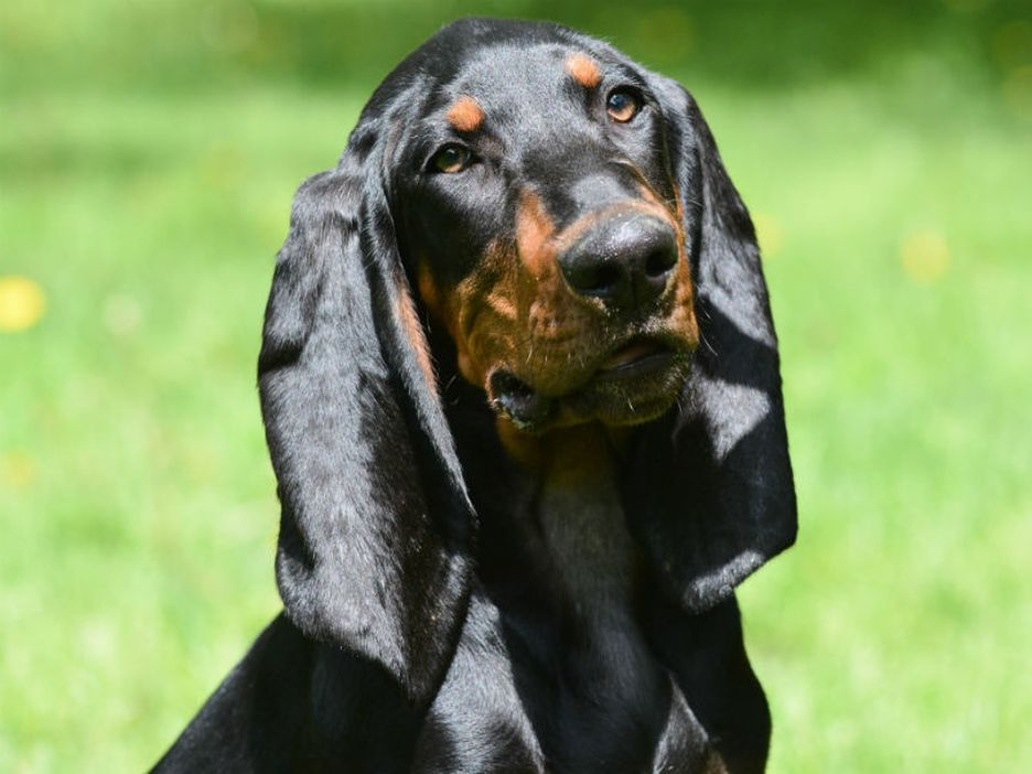 Secondary image of Black And Tan Coonhound dog breed