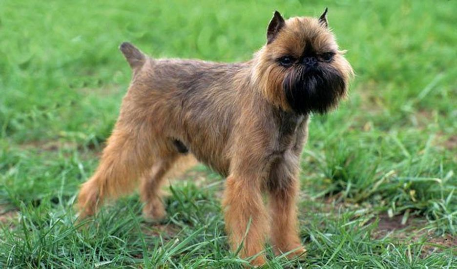 Secondary image of Griffon Bruxellois dog breed