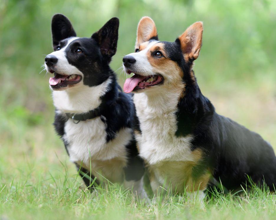 Secondary image of Cardigan Welsh Corgi dog breed