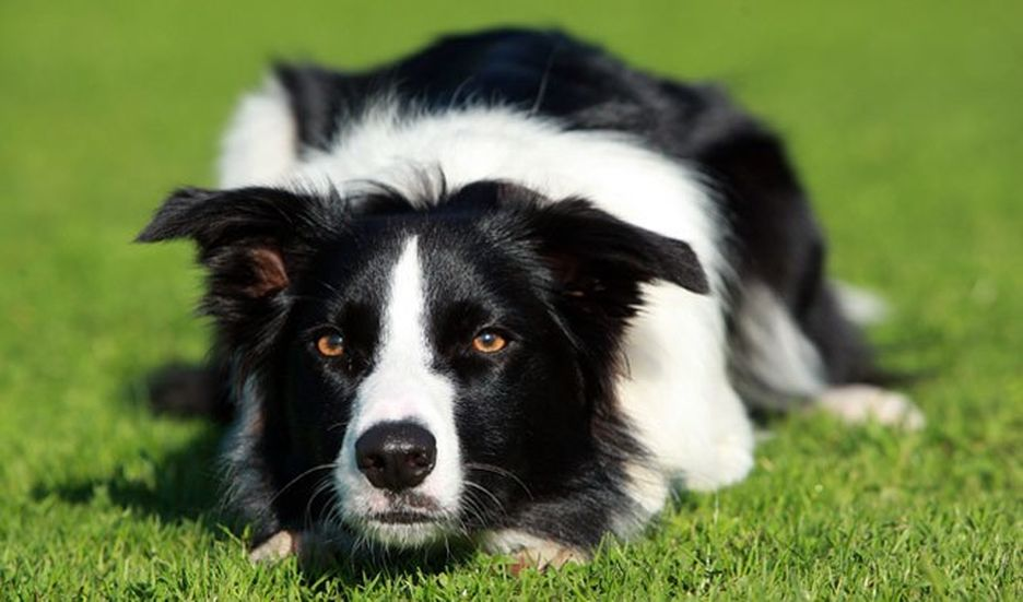 Secondary image of Border Collie dog breed