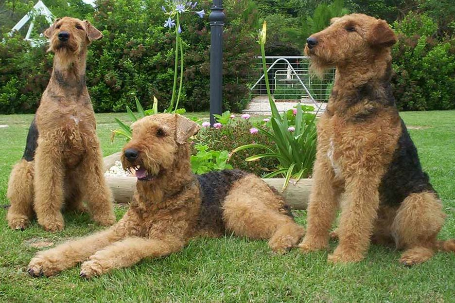 Secondary image of Airedale Terrier dog breed