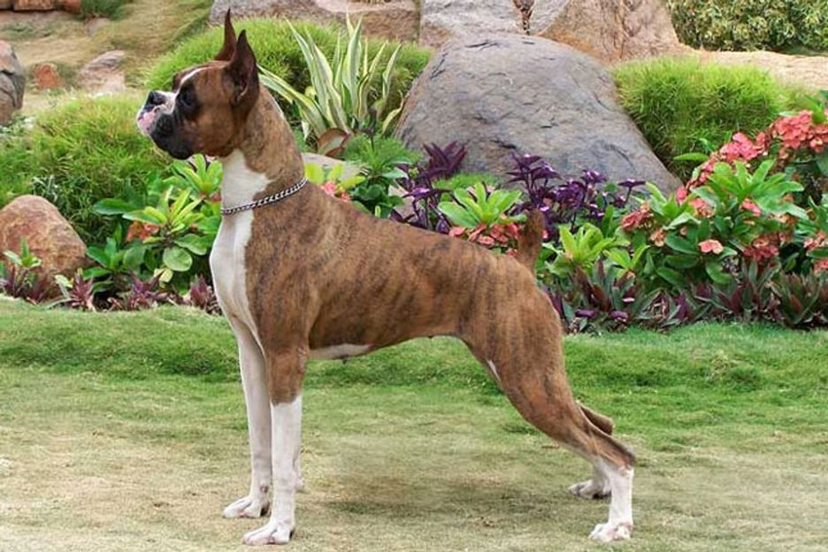 Secondary image of Boxer dog breed