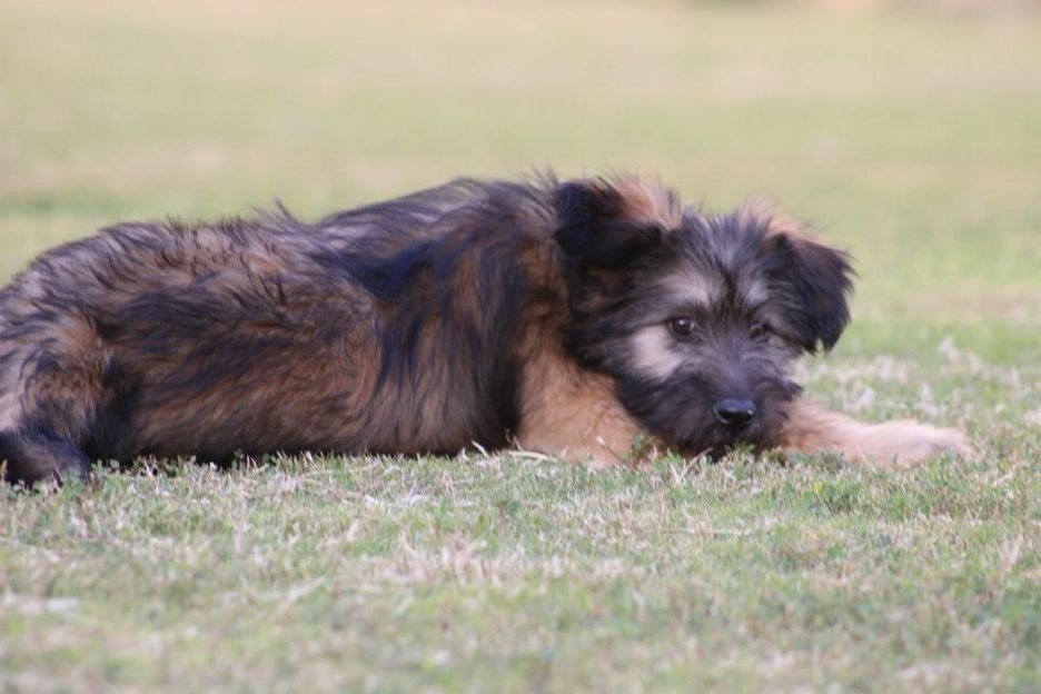 Secondary image of Armant dog breed
