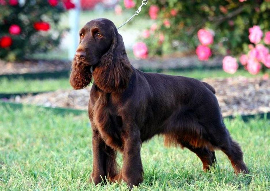 Secondary image of Field Spaniel dog breed